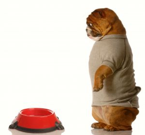 3986962 - english bulldog looking down at empty dog food dish